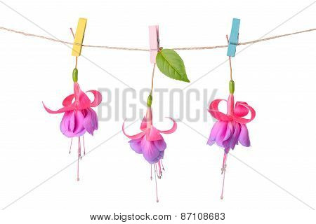 Pink And Purple Fuchsia Flowers Handing On Rope With Clothespin Is Isolated On White Background, Clo