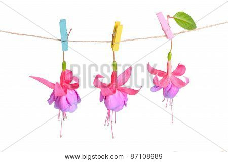 Fuchsia Flowers Handing On Rope With Clothespin Is Isolated On White, Closeup