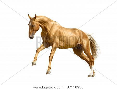 Palomino Horse Isolated On White