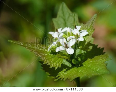 Garlic mustard (Alliaria officinalis)