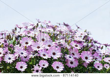 Purple Osteospermum Flowers ((african Daisy)
