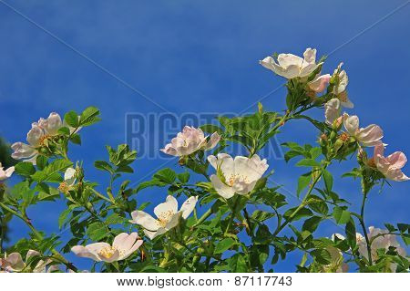 Blooming Dog Rose Against Blue Sky
