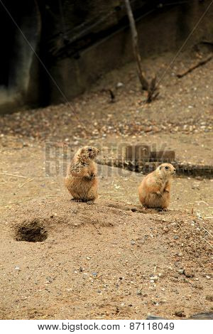 Two Prairie Dogs in natural habitat