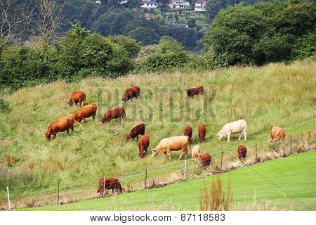 Cattle Grazing On Farmland