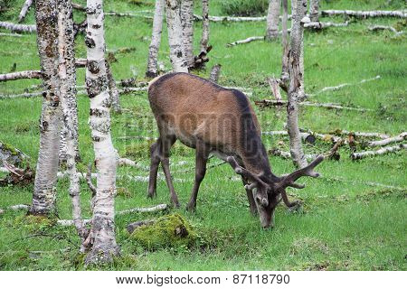 Large Whitetail Deer Buck In The Woods