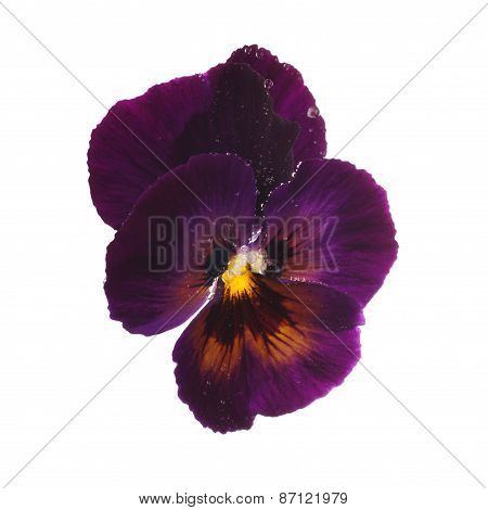 Purple pansy with dew drops