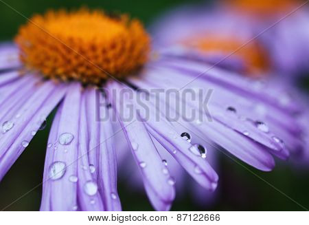 purple daisy with drops of dew
