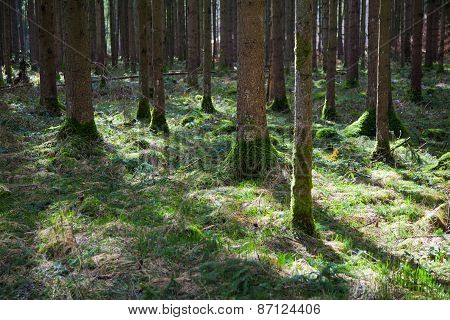 Forest Floor With Spruce Trunks