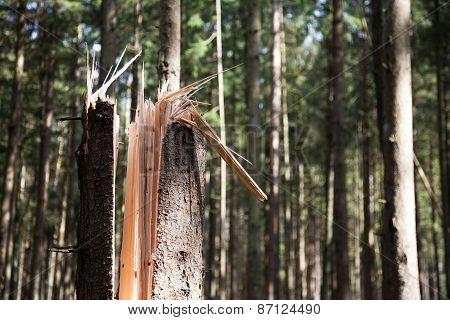 Broken Tree In A Forest