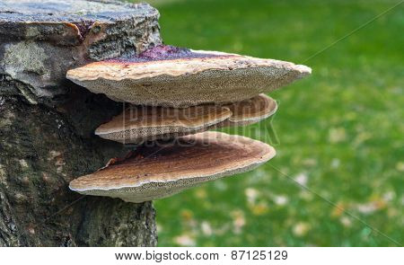 Bracket Fungus Growing Out Of Tree Stump.