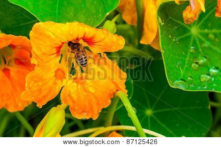 Tropical flower with leaves and honey bee