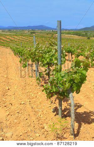 Vineyard, Catalonia, Spain