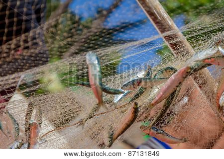 fishing net with fish on natural background