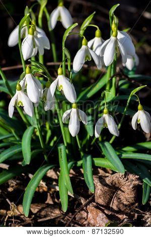 Snowdrops in First Spring Sunlight