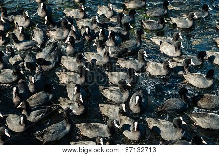 A Large Number Of Coots In The Sea