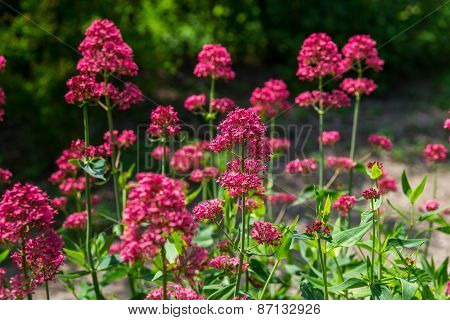 Red Valerian Flowers In Garden