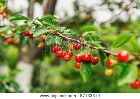 Ripe Red Cherries On A Tree Branch