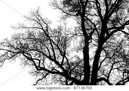 Large Tree Silhouette Against The Sky