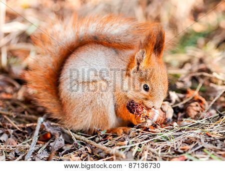 Red Squirrel Gnaws Cone Fir