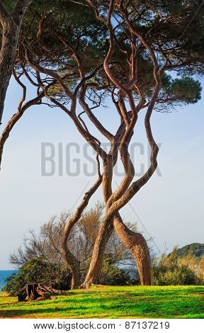 Maritime Pine Tree Twisted Group. Baratti, Tuscany.