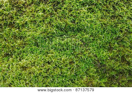 Green Moss Backgruond Close Up
