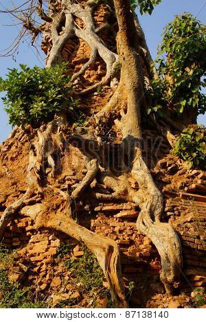 Strangler Fig Tree Engulfs An Ancientt Buddhist Stupa