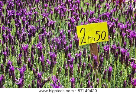 Fresh Lavander Flowers At The Street Market