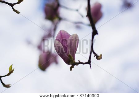 One Magnolia Flower In Spring Blossom