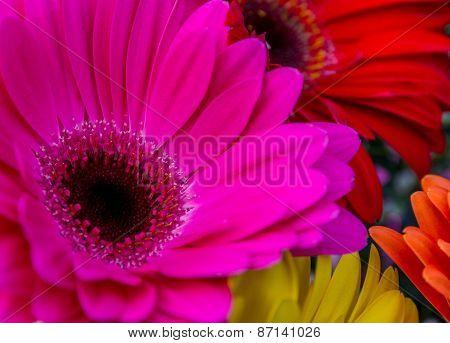 Colorful Gerbera daisy flowers