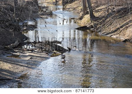 ducks in a creek