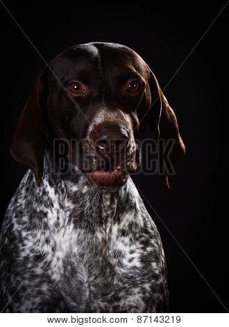 funny dog - german shorthaired pointer with silly expression on black background