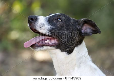 Dog Happy Eager And Panting Tongue Profile Outdoors.