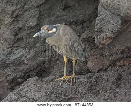 Yellow-crowned Night Heron On A Volcanic Island