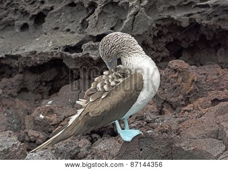 Blue-footed Boobie Preening On The Rocks Of An Island