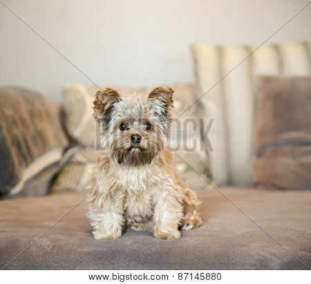 a cute yorkshire terrier peeking sitting on a sofa