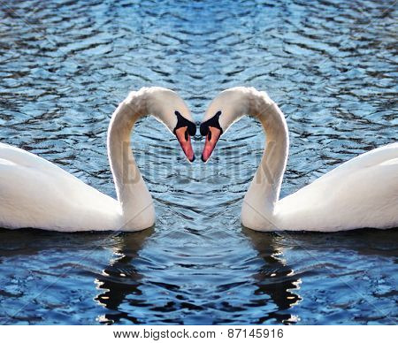 two swans in a blue lake or river making the shape of a heart with their necks