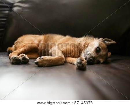 a cute chihuahua laying on a leather couch with his paws showing