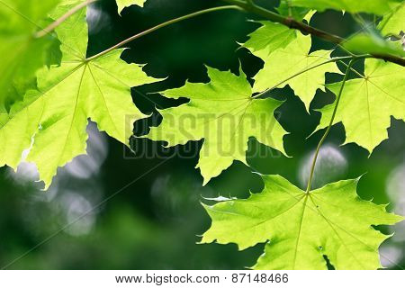 Maple Leaves On Natural Green Background