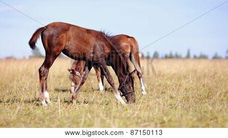 Foals On A Meadow.