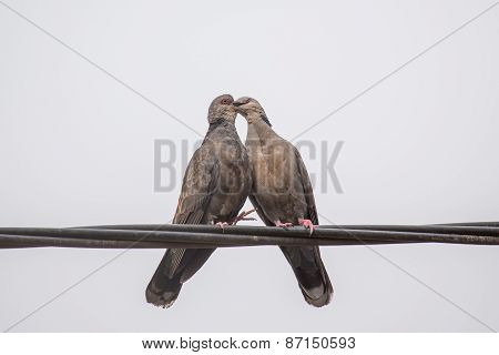 Dusky Turtle Dove Kiss