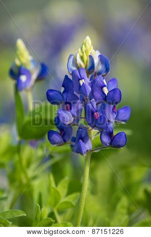 Texas Bluebonnet (lupinus Texensis) Blooming In The Spring