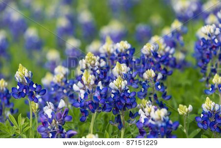 Texas Bluebonnets (lupinus Texensis) Blooming On Spring Meadow