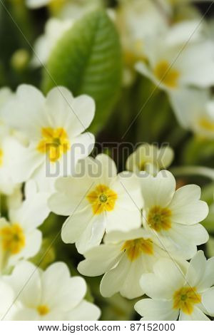 Common primroses (Primula vulgaris) in bloom