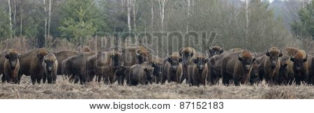 European Bison Herd In Snowless Winter