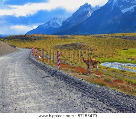 National Park Torres del Paine in Chile. Gravel road between the mountains and trusting guanaco -  small camel