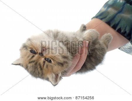Kitten Exotic Shorthair In Hand