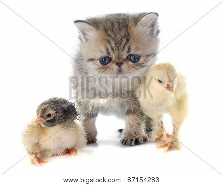 Kitten Exotic Shorthair And Chick