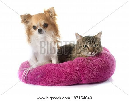 Tabby Cat And Chihuahua