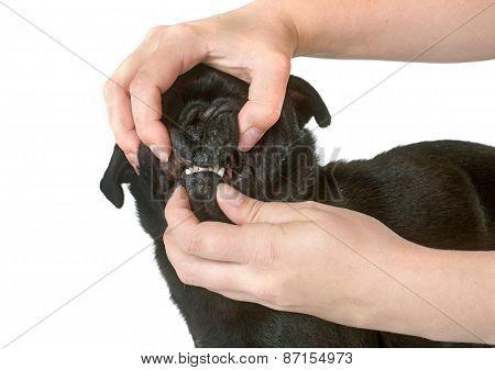 Teeth Of Black Pug