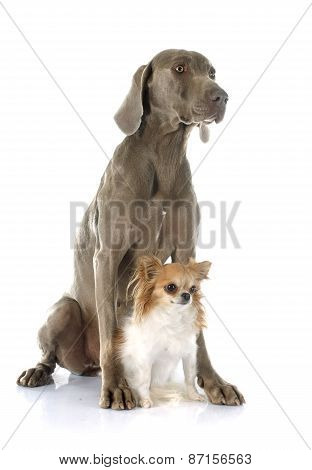 Weimaraner And Chihuahua